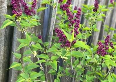 flowers-lilac-2-1000x750